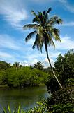Leaning Palm over River