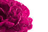 Close-up of magenta carnation with water droplets