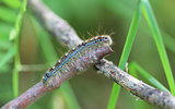 Forest Tent Caterpillar