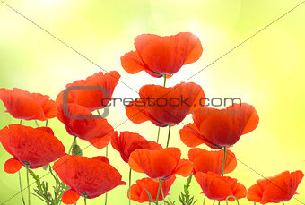 Group of red poppies flowers
