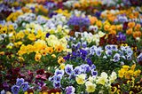 Bed of colorful violet flowers