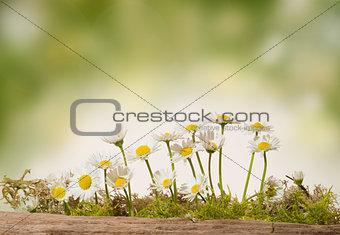 daisy  flowers