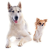 siberian husky and chihuahua