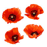 Set of red poppies isolated on white background.