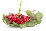 Red viburnum berries  with leaf