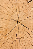 cross section tree stump