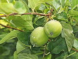 Two small green apples fruit