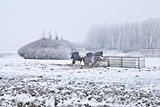 horses on winter cold pasture