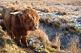 Highland cattle outdoors on pasture