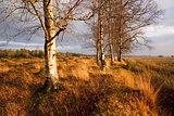 birchwood at sunset