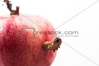 Caterpillar peeking out from apple