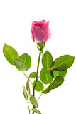 Pink rose in bloom with stalk and leaves