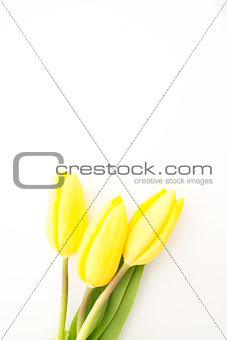 Three yellow tulips with copy space