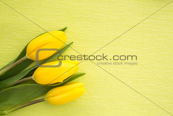 Three yellow tulips resting on green painted background