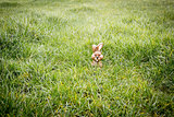 Chocolate bunny hiding in the grass