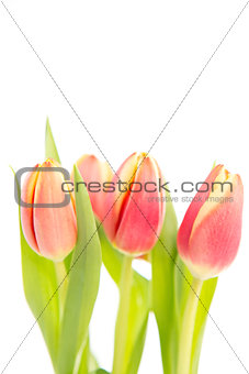Three tulips on a white background