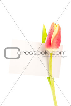 A tulip with a blank card