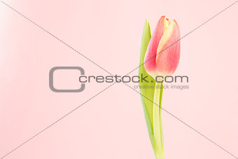 Close up of a beautiful tulip