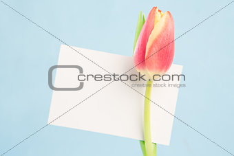 A beautiful tulip with a blank card