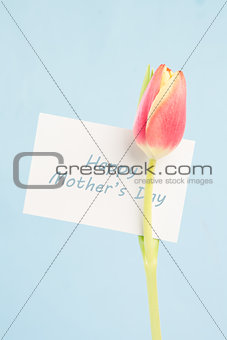 A beautiful tulip with a happy mothers day in blue card