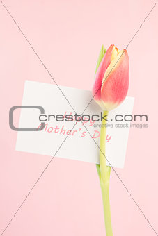 Close up of a beautiful tulip with a happy mothers day card in pink