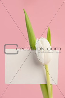 Beautiful white tulip with blank card