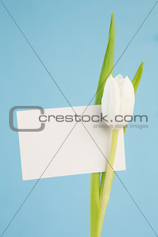 Beautiful white tulip with an empty card on a blue background