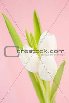 Three beautiful white tulips on a pink background