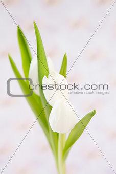 Three beautiful white tulips