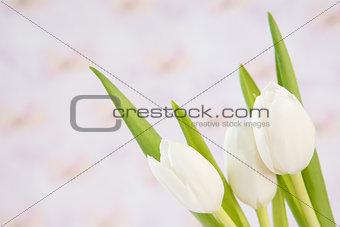 Close up of three beautiful white tulips
