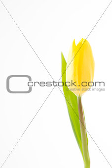 Beautiful yellow tulip on a white background