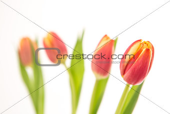 Close up of four beautiful tulips in line on a white background