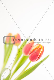 Close up of four tulips in line on a white background