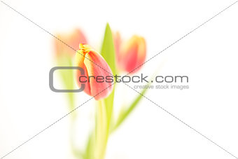 Three beautiful tulips on a white background