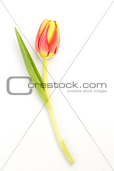 Close up of a blooming tulip on a white background