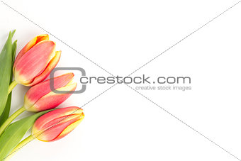 Three blooming tulips on a white background