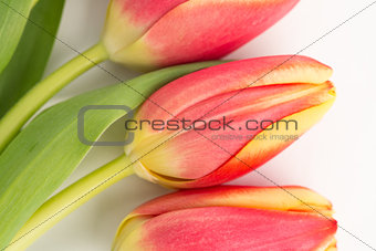 Close up of three blooming tulips on a white background