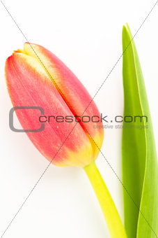 Close up of a beautiful tulip on a white background