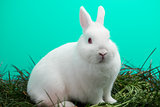 Fluffy white bunny rabbit