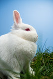 White fluffy rabbit sitting on grass