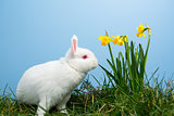White fluffy bunny sitting beside daffodils