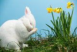 White fluffy bunny scratching its nose beside daffodils