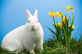 White fluffy bunny sitting beside daffodils with easter eggs