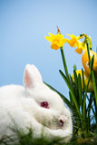 White bunny rabbit sitting beside daffodils with easter eggs