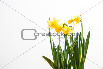 Three daffodils growing