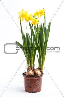 Daffodils growing from bulbs in a pot