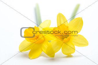 Pair of pretty yellow daffodils