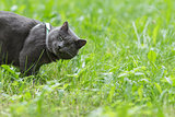 british shorthair cat eat grass