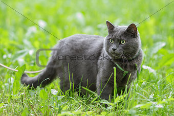 portrait of young british cat in grass