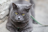 young british cat looking towards camera